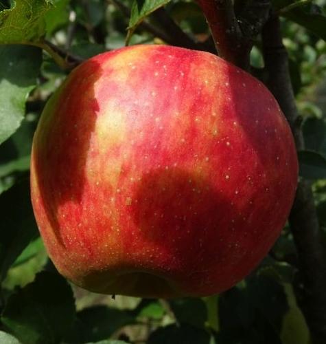 Apfelbaum  'Elstar'