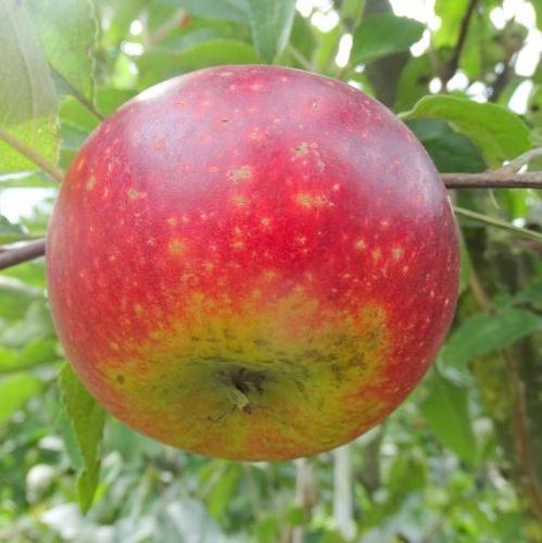 Apfelbaum  'Ingrid Marie'