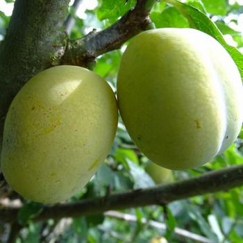 Pflaumenbaum  'Aprimira'