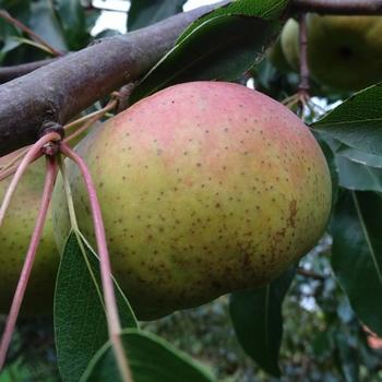 Birnenbaum  'Oranjepeer'