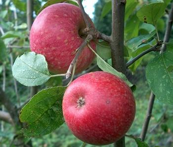 Apfelbaum  'Sternrenette'