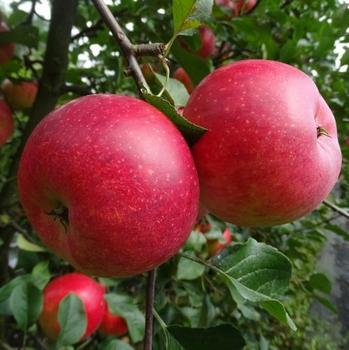 Apfelbaum  'Roter Berlepsch'