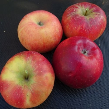 Apfelbaum  'Red Topaz' ®