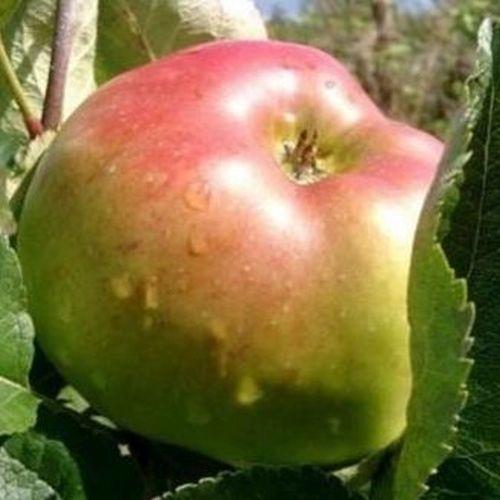 Alte äpfel sorten
