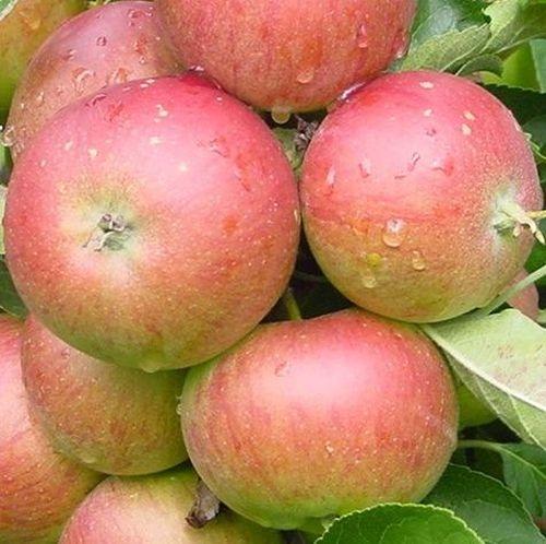 Herbst Apfelbäume