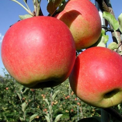 Neu äpfel sorten
