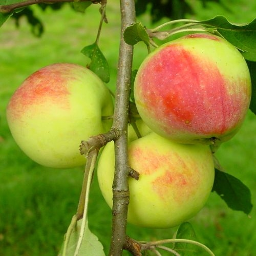 Sommer Apfelbäume