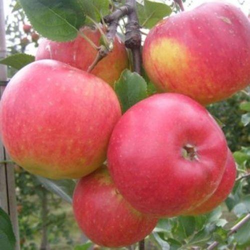 Winter Apfelbäume